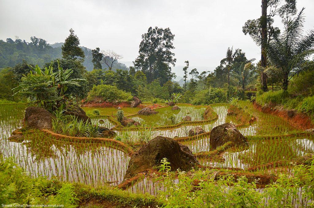 Rice field West Jawa Indonesia